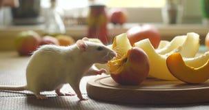White rat eats fresh fruit