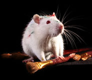 White rat and few brushes Royalty Free Stock Photos