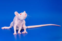 White rat hairless. Rat hairless on a royal blue background Stock Images