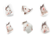 White rat head white background Stock Photography
