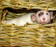 White Rat Inside Hay Chew Hut. White rat with black fur patch inside hay chew hut Stock Photo