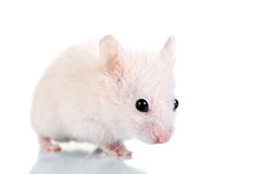 White rat isolated on white background Royalty Free Stock Photos