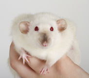 White rat Royalty Free Stock Photo