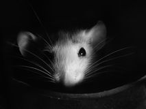 White rat. Little white rat hiding in a small house Stock Image