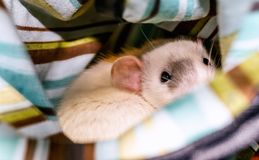 White rat looking at camera. White dumbo rat inside cage hammock looking at the camera Royalty Free Stock Photography