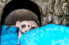 White rat looking at camera. White dumbo rat inside a small animal house and looking at the camera Royalty Free Stock Images