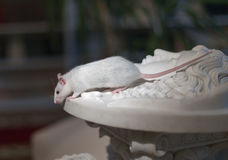 White rat on marble statues Royalty Free Stock Images
