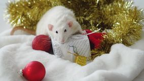 White rat with New Year gifts. White rat sitting on white New Year gift box near christmas balls and decorations and looking at camera. Rat is symbol of coming stock footage