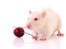 White rat posing Royalty Free Stock Photo