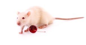 White rat posing Royalty Free Stock Image