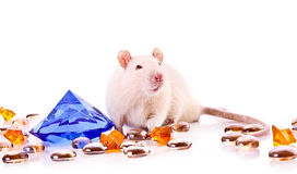 White rat posing over white background Royalty Free Stock Images