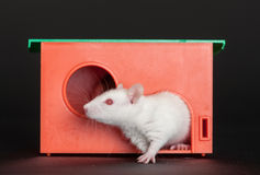 White rat in a red house Stock Image