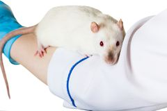 White rat sits on the hand Royalty Free Stock Photo