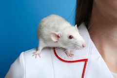 A white rat sits on the shoulder Stock Photo