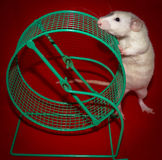 White Rat Sniffing Cage Wheel. Pet white rat checking out green cage wheel for the first time Royalty Free Stock Image