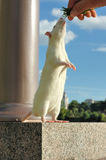 White rat stay on two pads Royalty Free Stock Photo