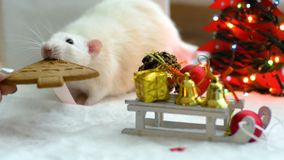 White rat try to eat cookie. Closeup of white fat rat trying to eat a ginger cookie. Christmas garland and christmas toys lie around stock footage