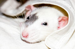 White rat under blanket. White dumbo rat under a blanket looking at camera Royalty Free Stock Photography