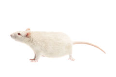 White rat on white background. White rat isolated on white background Royalty Free Stock Photography