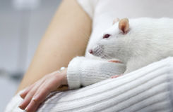 White rat on woman hand. White rat on careful woman hand Stock Photography