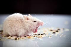 White rat yawning Royalty Free Stock Photo