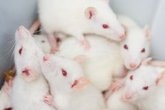 White rats Stock Images