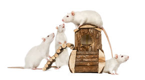 White Rats on a rat house Stock Photography