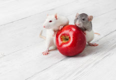 White rats with red apple. Over grunge wooden background stock photography