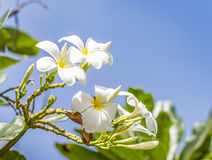 White Rave, the favorite flower for gardenning Royalty Free Stock Image
