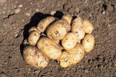 White raw potato lay on ground. Harvest, outdoor. White raw potato lay on ground. Harvest Stock Photo