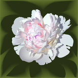 White realistic paeonia flower with pink center.  royalty free illustration