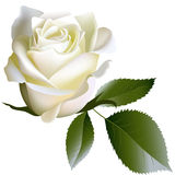 White realistic rose flower and leaves Stock Images