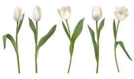White realistic vector tulips. Set of red realistic vector tulip flowers. Elements floral decor for a greeting card women day or mother day. Buds and leaves of Stock Photography