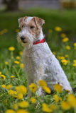 White with red airedale terrier Royalty Free Stock Photos