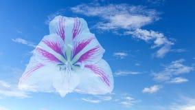 White red amaryllis flower Royalty Free Stock Photography
