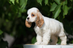 White and red american cocker spaniel puppy Royalty Free Stock Photos