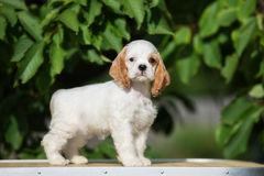 White and red american cocker spaniel puppy Royalty Free Stock Photo
