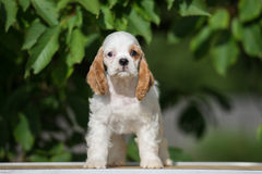 White and red american cocker spaniel puppy Stock Photography