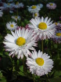 White with red bellis perennis. Close-up of white with red bellis perennis in the garden Stock Photo