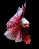 White-red betta fish Stock Image
