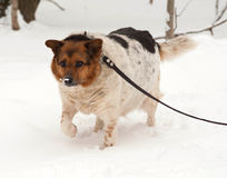 White, red and black spotted thick mongrel dog is on leash on sn Stock Photography