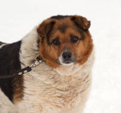 White, red and black spotted thick mongrel dog on snow Royalty Free Stock Image