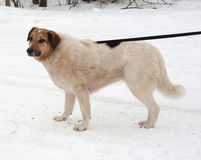 White, red and black spotted thick mongrel dog standing on snow Stock Photography