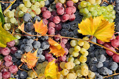 White, red and black  wine grape Royalty Free Stock Images