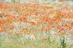 White and Red Blooming Flowers Stock Photography