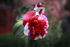 White and red camellia, japonica, in full bloom with blue sky background stock photo