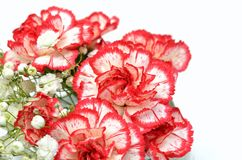 White and Red carnation. Royalty Free Stock Photos