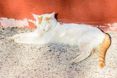 White-red cat basking in the sun on a spring day. Ginger cat closed his eyes with pleasure. Carefree, free life royalty free stock image