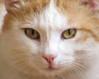 White and red cat Royalty Free Stock Images