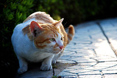 White and red cat gaze something and sitting Royalty Free Stock Photography